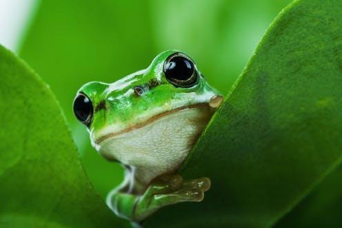 Information Regarding the Green Tree Frog